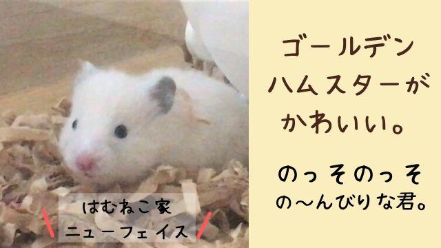 ゴールデンハムスター ぽっちゃん